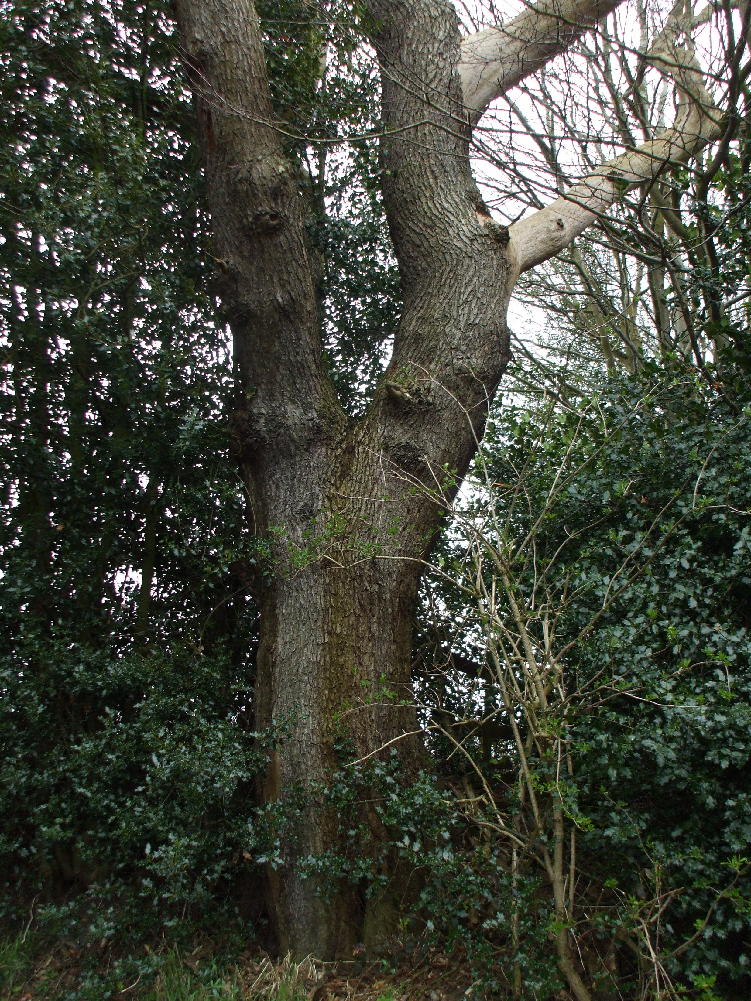 Ash Tree, Little Moss